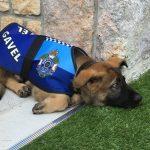 В Австралии слишком дружелюбную собаку исключили из полицейской академии