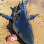 Почему акулы выплевывают свой желудок? Ответ вас поразит