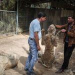 История спасения одного тигра