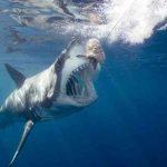 Акульи мозги оказались деликатесом для паразитов