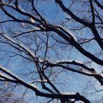 В Англии деревья усыпали шипами, чтобы уберечь владельцев автомобилей от злобных птиц