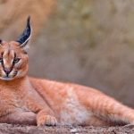 12 редких диких разновидностей котов, о которых ты даже не догадывался