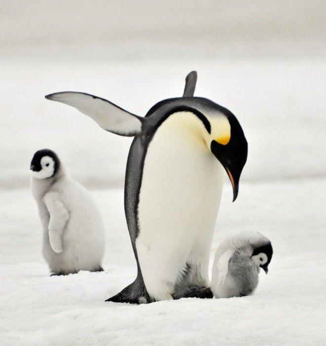 Пингвины это ласточки которые ели после шести